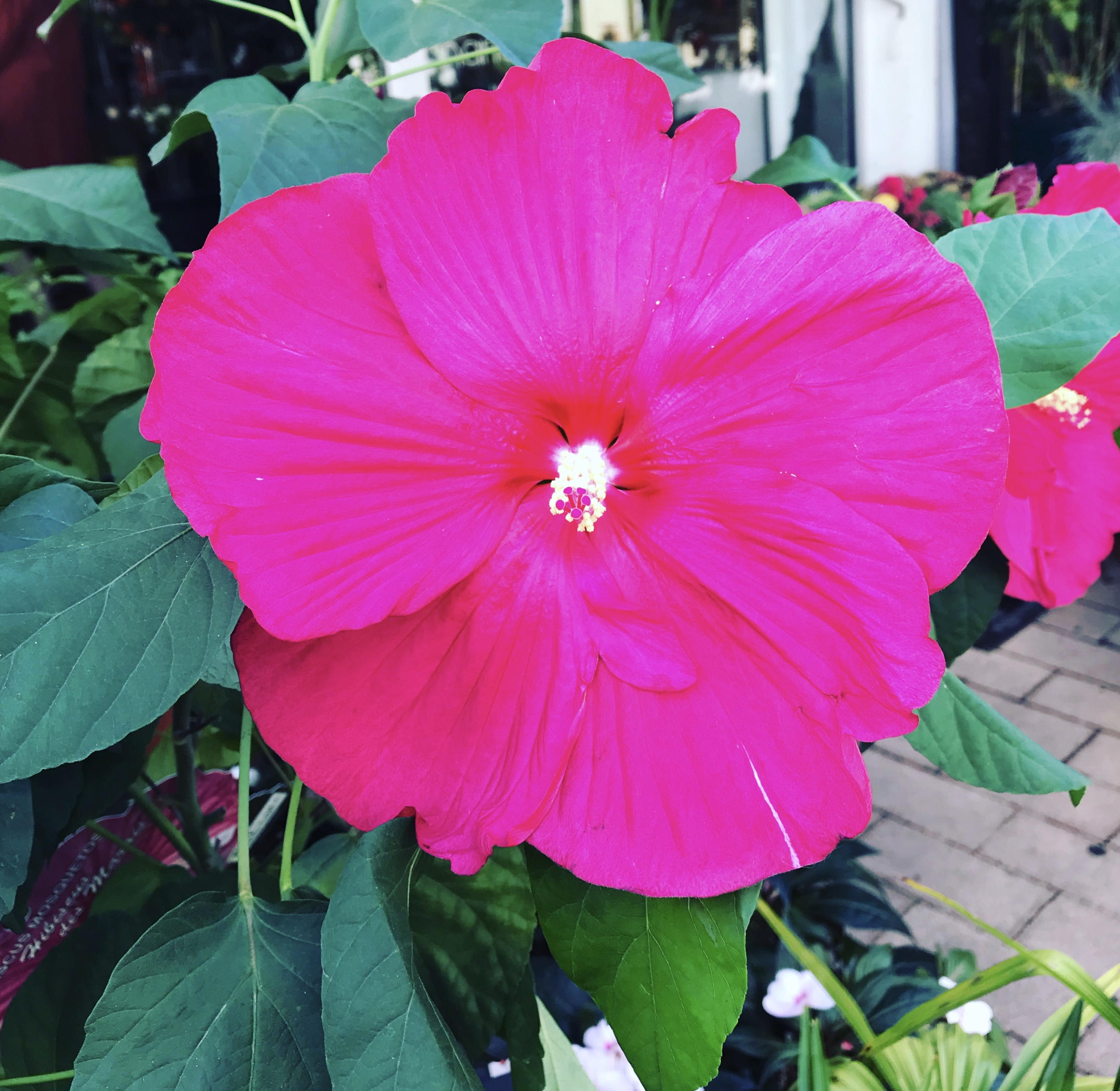 Hibiscus in our Revive and Shine Conditioner to detangle.