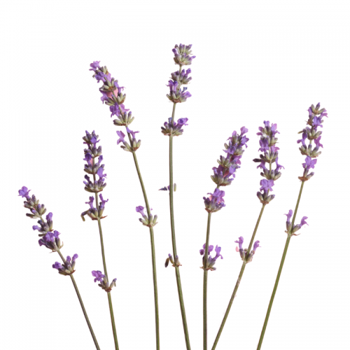Lavender to Repair Hair